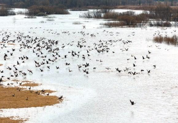 В первые майские дни в пойме Унжи и окрестностях Кологрива собралось более пяти тысяч гусей