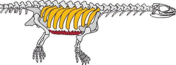 Рис. 7. Реконструкция скелета Pappochelys rosinae. Обращают на себя внимание широченные ребра (желтые) и гастралии (красные) —  будущие карапакс и пластрон (www.nbcnews.com)