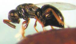 Самка наездника Nasonia vitripennis