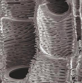 Членики сосудов в древесине южноафриканского зонтичного Glia prolifera под сканирующим электронным микроскопом