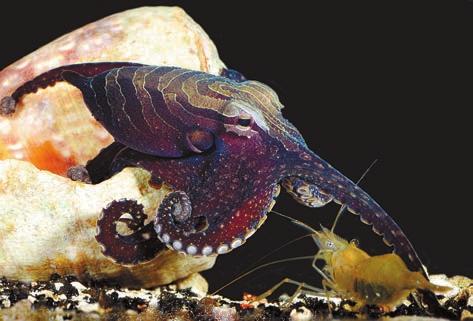 Осьминог медленно тянет щупальце к креветке. Сейчас схватит. www.sciencemag.org