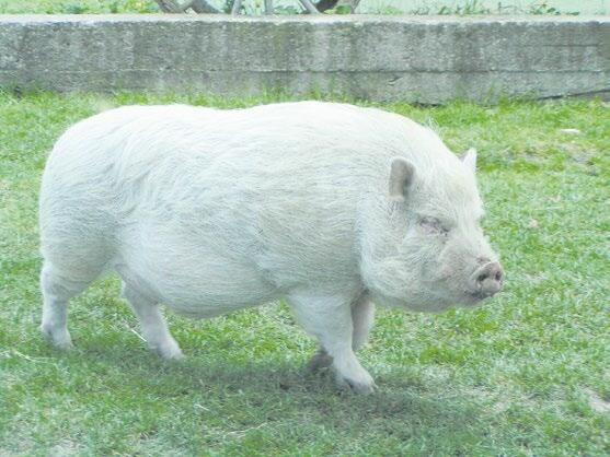 Домашняя свинья. Фото: «Википедия»