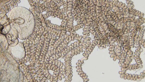 Рис. 2. Семяприемник D. bifurca (справа), www.sciencemag.org