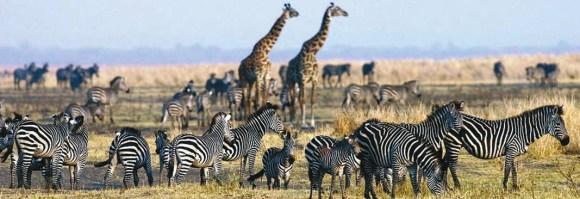 Рядом с жирафами зебры чувствуют себя в безопасности (http://imagepd.press)