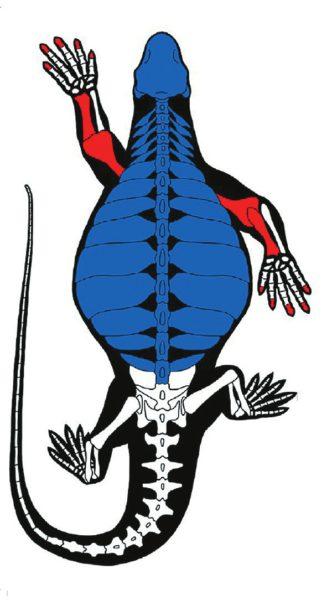 Рис. 4. Адаптации скелета Eunotosaurus africanus к роющему образу жизни: массивная грудная клетка, короткая шея, кости, которые выдерживают большие нагрузки и позволяют прикрепить мощные мышцы. Кисти передних лап крупные, с широкими когтями на пальцах [3]