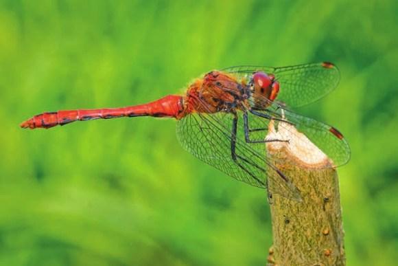 Стрекоза кроваво-красная (Sympetrum sanguineum)