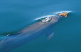 Рис. 1. Бутылконосый дельфин с губкой [1]