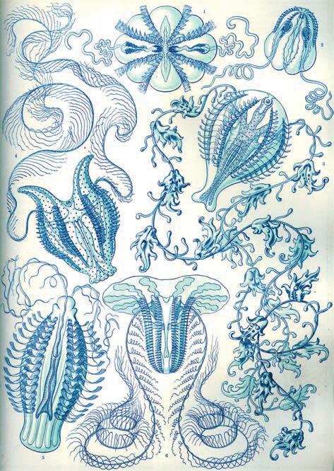 «Ctenophorae», иллюстрация из работы Э. Геккеля «Красота форм в природе» (1904)