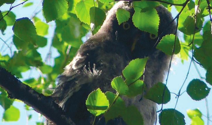 Один птенец выглядывал из-за березовых листьев