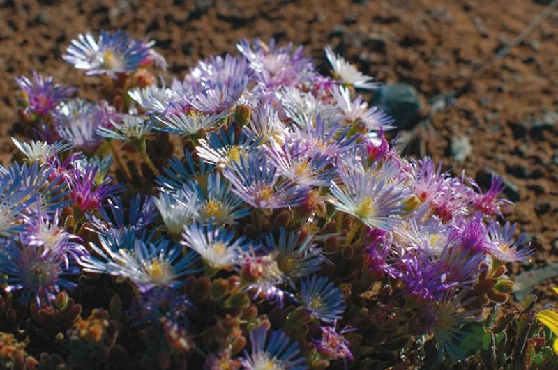 Весенняя пустыня: цветёт делосперма из семейства аизовые