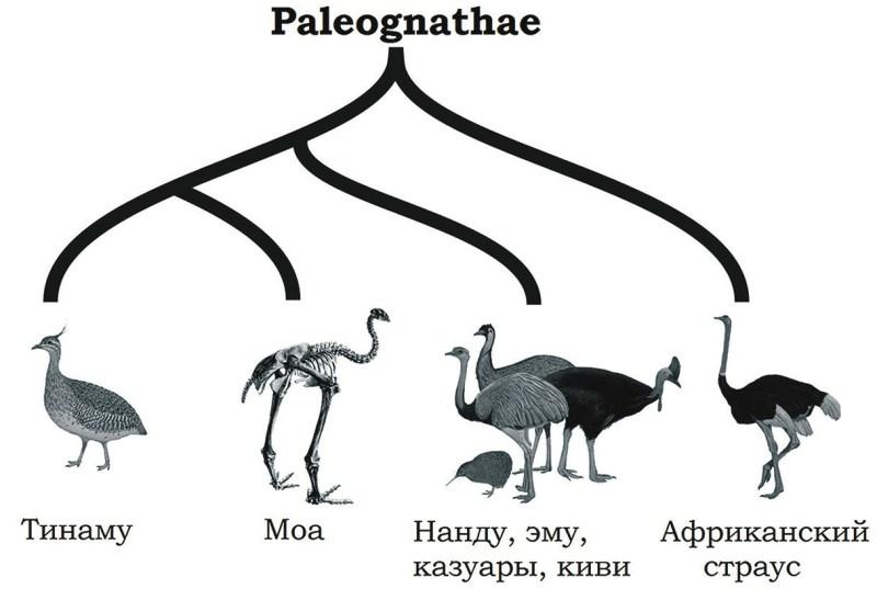 Рис. 1. Филогения Palaeognathae [2] с модификациями
