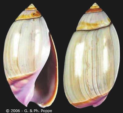 19. Olivella biplicata (Sowerby, 1927), 1,3–3,8 см, Атлантическое побережье Северной Америки от Аляски до Южной Калифорнии [2]