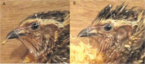 Рис. 3. Перепел получает удовольствие, а исследователи измеряют высоту подъема перьев на макушке (1) и на горлышке (2). На фото слева перья гладкие, справа — взъерошенные [2