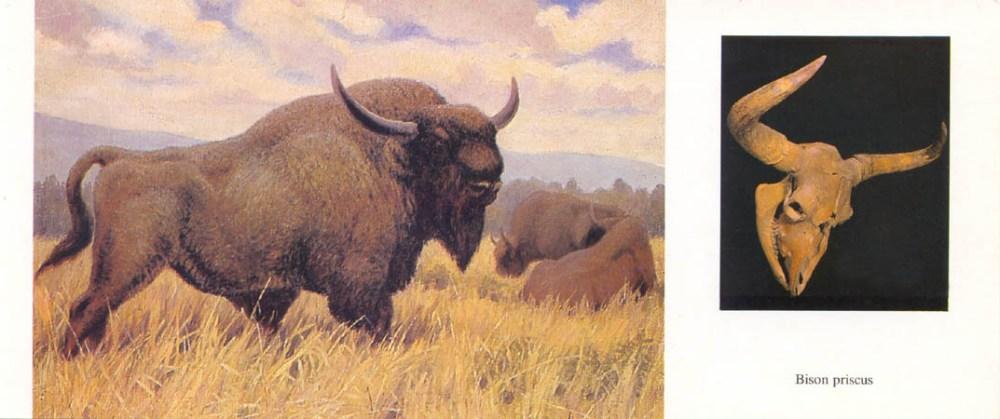 К. Флёров. Ископаемый бизон; череп Bison priscus (илл. из книги «По страницам животного мира». М., 1989)