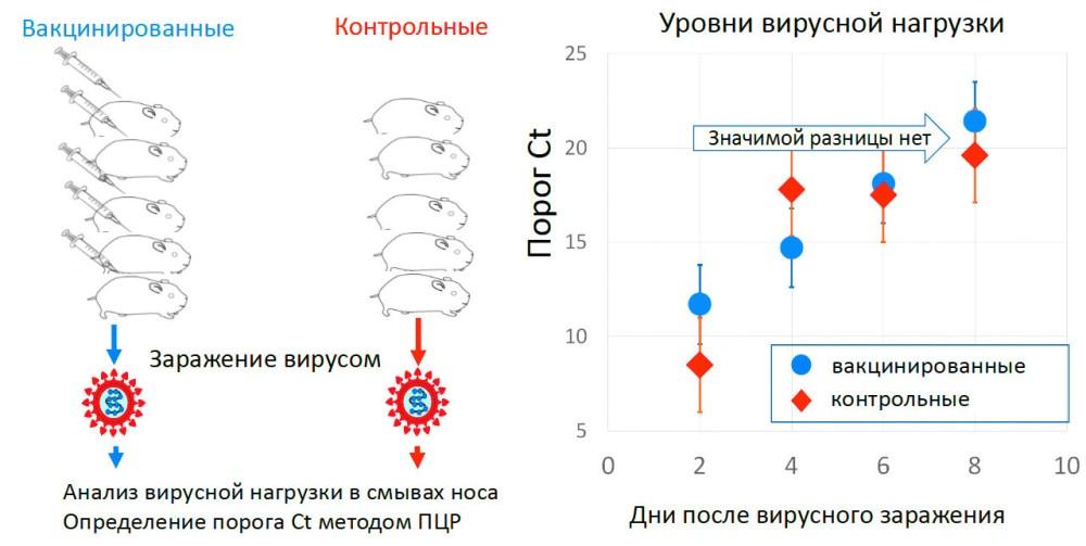 Рис. 4. Изучение протективности «ЭпиВакКороны» на хомяках