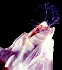 Balanus amphitrite – один из многих видов усоногих ракообразных, описанных Дарвином. Фотография с сайта Ньюкаслского университета (www.ncl.ac.uk).