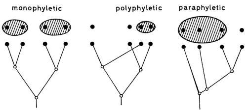 Схема Вилли Хеннига из статьи «Phylogenetic Systematics» (1965), показывающая три возможных разновидности систематических групп: монофилетические, полифилетические и парафилетические. Черными кружками обозначены виды, а деревья отражают их родственные связи. Хенниг убедил значительную часть систематиков в том, что следует стремиться объединять виды исключительно в монофилетические группы.