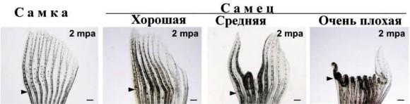 Регенерация грудных плавников у самцов проходит с разной эффективностью. За долгий срок, 1-2 месяца, некоторые восстанавливают плавник практически полностью, другим это не удается. Иа фотографии плавники самки и самцов с разной степенью повреждения. Стрелки указывают на места ампутации (рисунок из статьи)