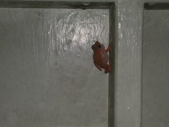 Знаменитая лягушка коки — почти что символ острова — на наружной стене лабораторного корпуса. Малютка (меньше 5 см), квакает-орет оглушительно
