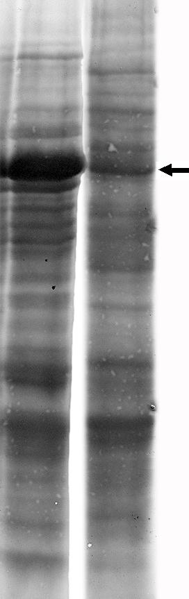 Электрофорез всех белков листа. На левой дорожке — из листьев ячменя, растения с обычным типом фотосинтеза (С<sub>3</sub>). На правой дорожке — из листьев кукурузы, растения с особым механизмом концентрирования СО<sub>2</sub> (С<sub>4</sub>). Стрелка указывает на большую субъединицу рубиско. Хорошо видно, как резко падает количество рубиско в случае применения механизма концентрирования СО<sub>2</sub>