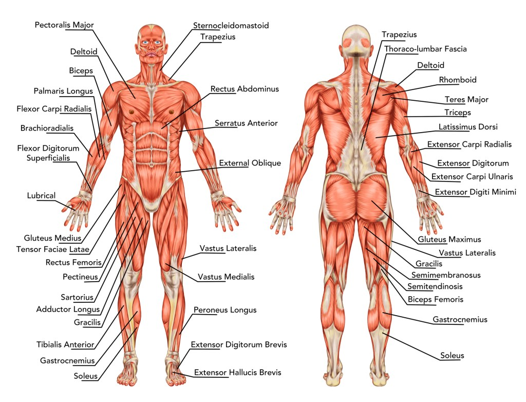 What Are The Major Muscle Groups