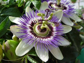 How to deal with nervousness andAnxiety - Passion Flower
