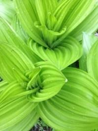 False Hellebore (Veratrum californicum)