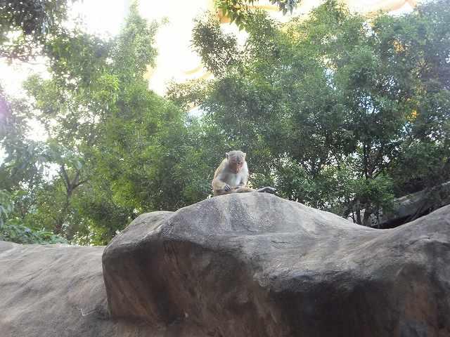 ダンブッラ石窟寺院に居たサル:スリランカ