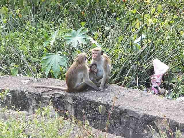猿の親子:ダンブッラ黄金寺院(石窟寺院)、スリランカ