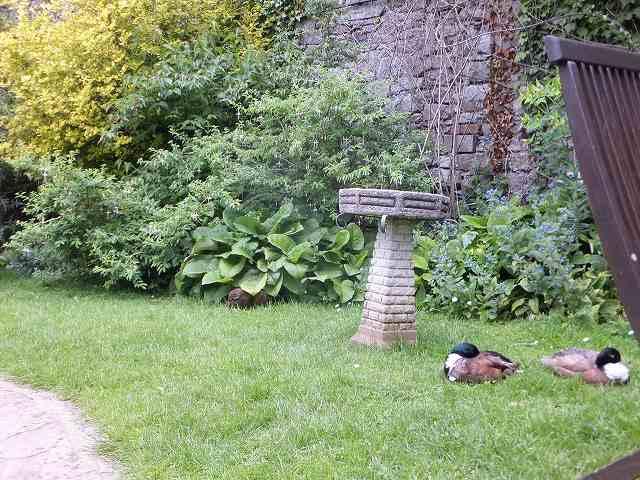 カフェの中庭にはカモが:イギリス田舎町のカフェ