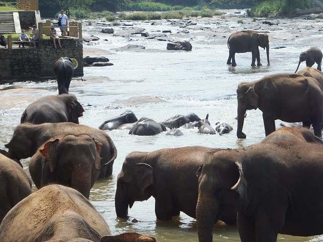水浴びをする小象たち:ピンナワラの象の孤児院