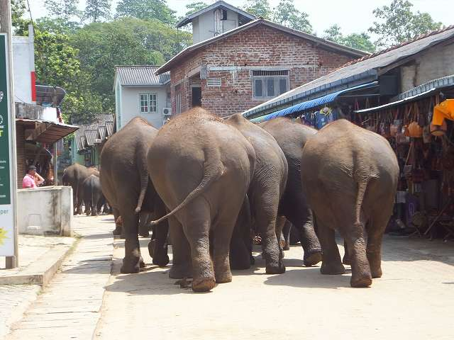 ド迫力のこのケツ!:ピンナワラの象の孤児院