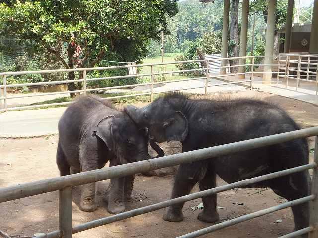 じゃれあう象の赤ちゃん:ピンナワラの象の孤児院