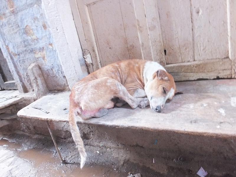 インドバラナシのぐったりしている野良犬