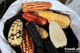 Kolorowe kolby kukurydzy Peru