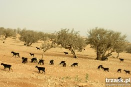 Agranie i kozy, okolice Agadiru