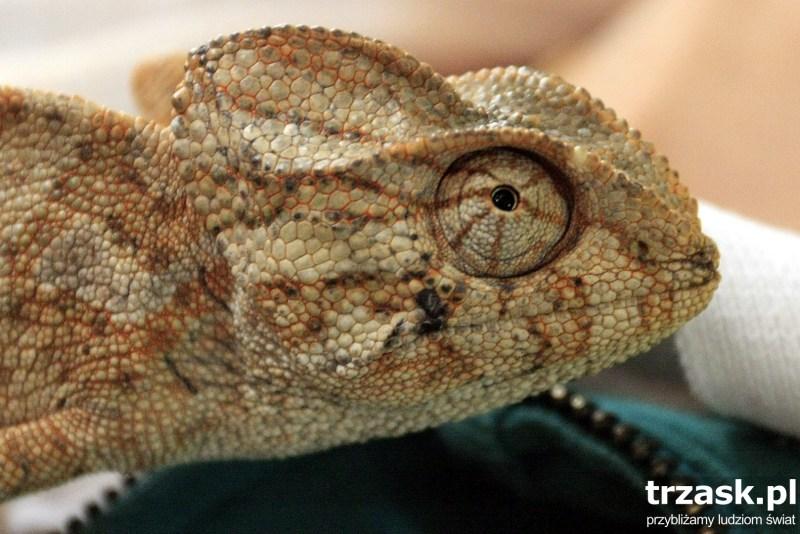 Oko kameleona