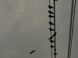 galambok a dróton