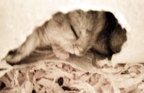 alvó hörcsögök