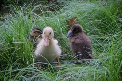 Kacsák a Central Parkban - Canards dans le Central Park