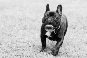 bulldog piknik-0821