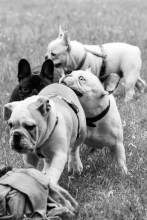 bulldog piknik-0895