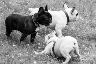 bulldog piknik-0897