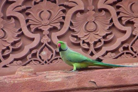 Perroquet au Fort d'Agra