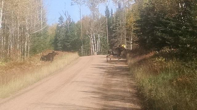 Pair of Cow Moose