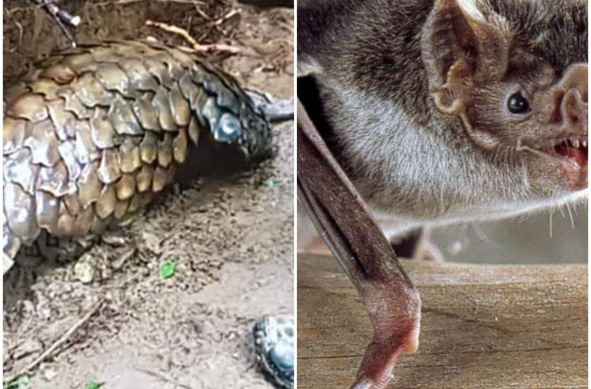 Cohabitation des espéces protegées: plus de chasse aux pangolins
