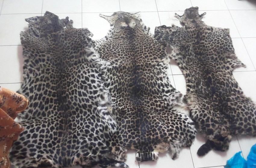 Des peaux de panthères saisies par la Police Judiciaire à Libreville