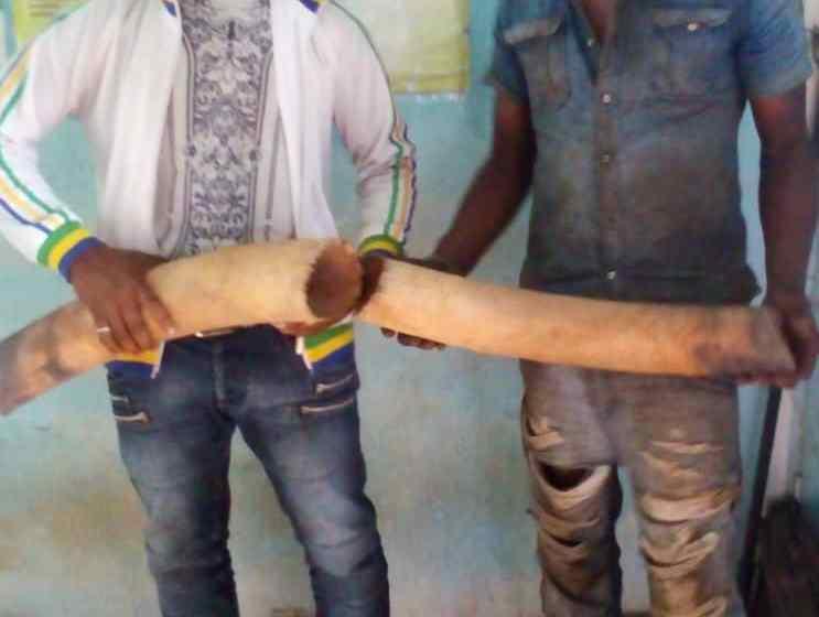 Trafic d'ivoire: deux suspects interpellés à Mouila