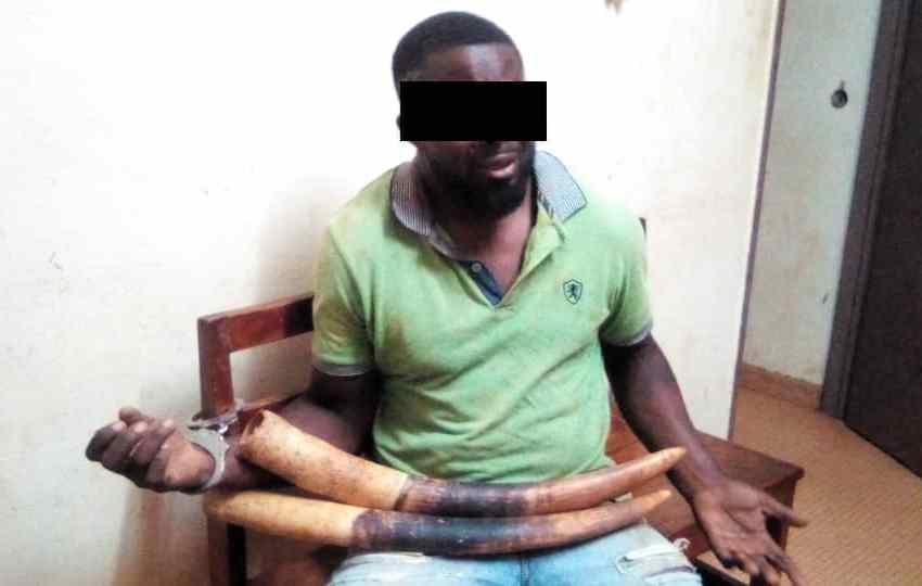 Trafic d'ivoire: Un présumé trafiquant arrêté à Moabi