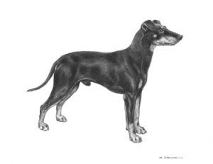manchester-terrier-tegning